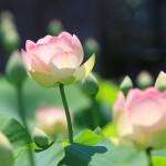 荒川花ハス園